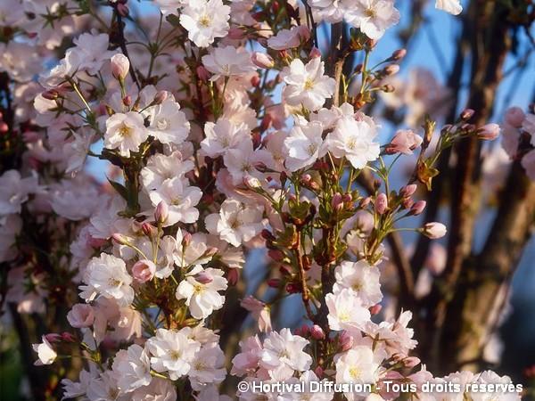 Cerisier des collines du Japon Amanogawa