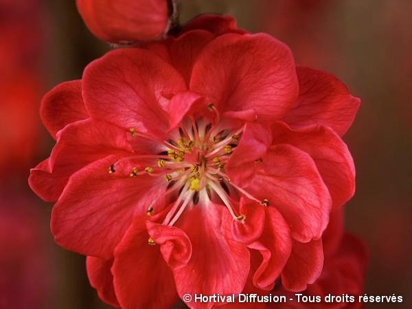 Pêcher à fleurs TAOFLORA® rouge