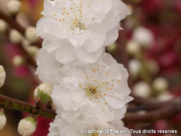 Pêcher à fleurs TAOFLORA® blanc