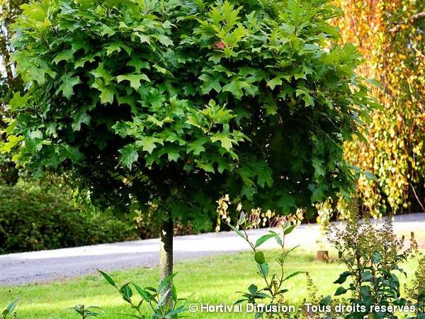 Chêne des marais 'Green Dwarf'