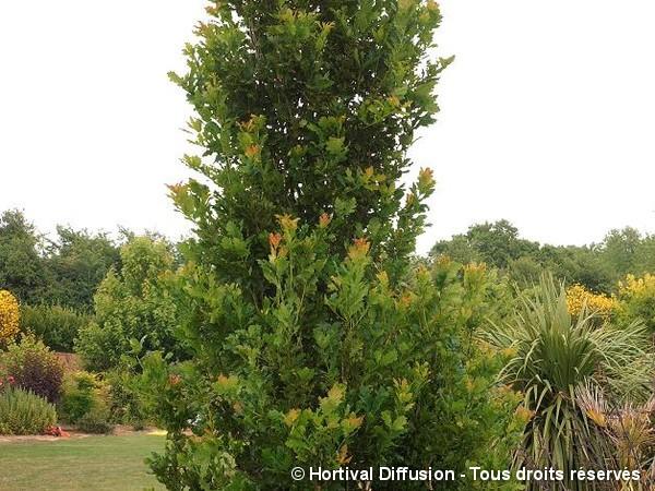 Chêne pédonculé fastigié Koster
