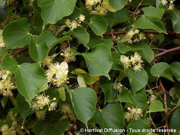 Tilleul à grandes feuilles Rubra