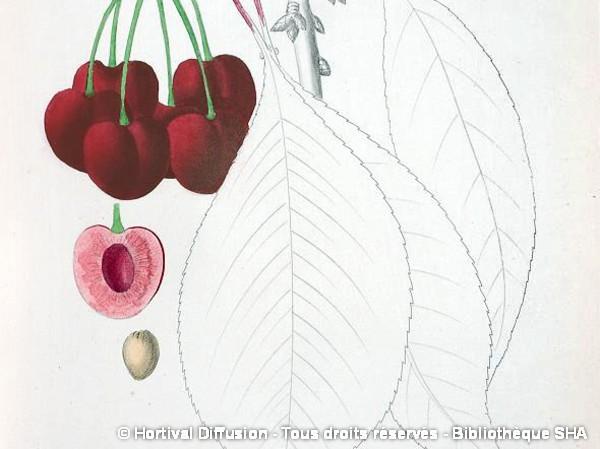 Cerisier bigarreau Jaboulay
