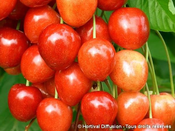 Cerisier bigarreau Rainier