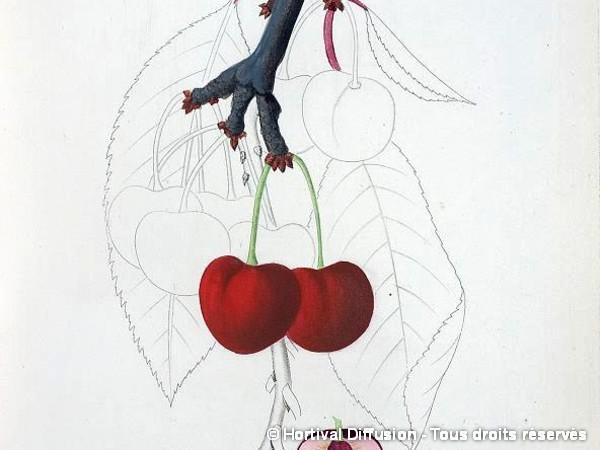 Cerisier bigarreau Reverchon