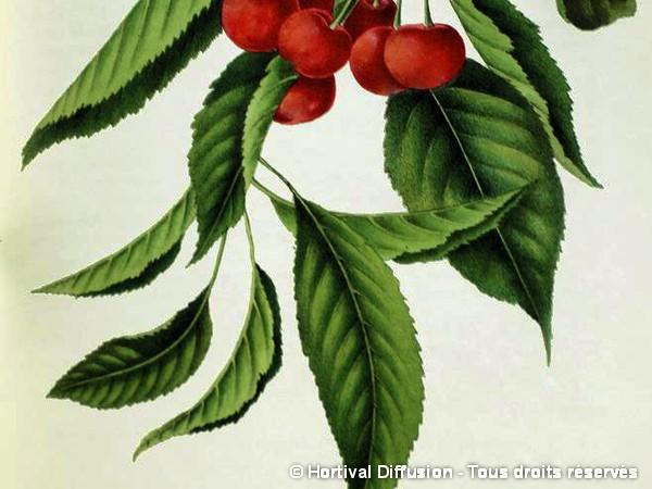 Cerisier bigarreau tardif de vignola