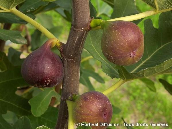 Figuier Rouge de Bordeaux = Pastilière ; Hirta du Japon