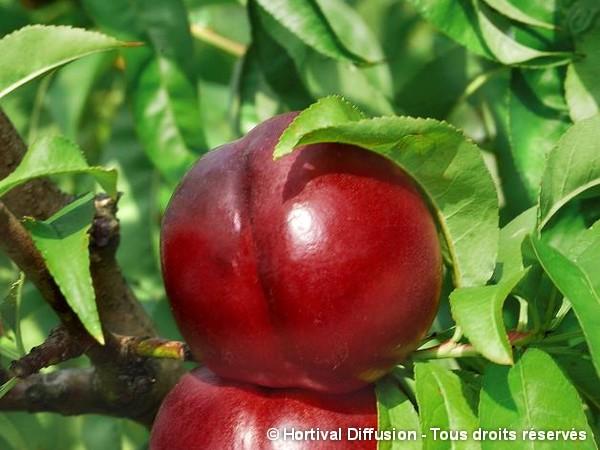 Nectarinier Morton