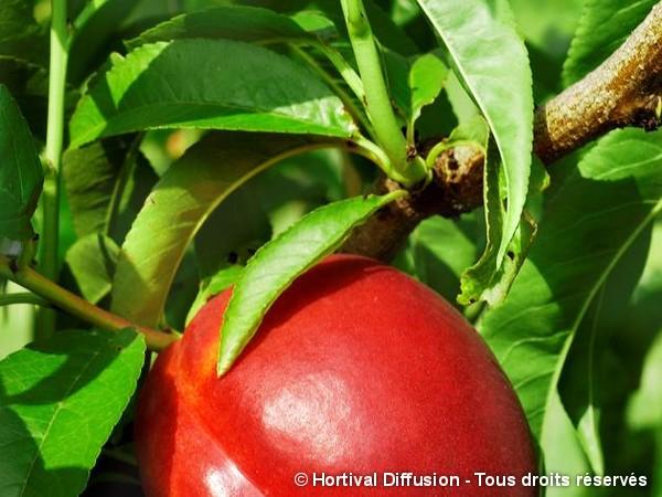 Nectarinier Nectared