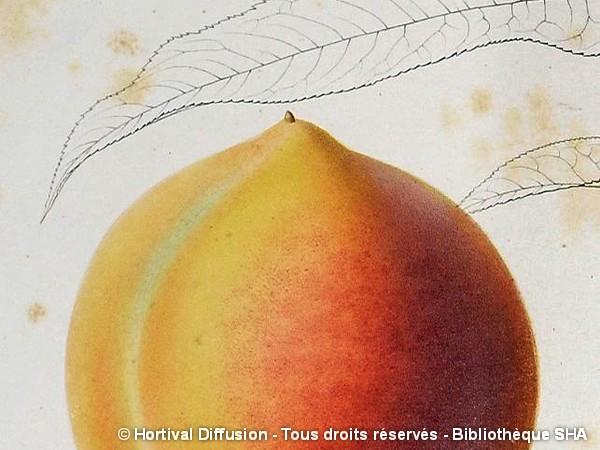 Pêcher Téton de Venus