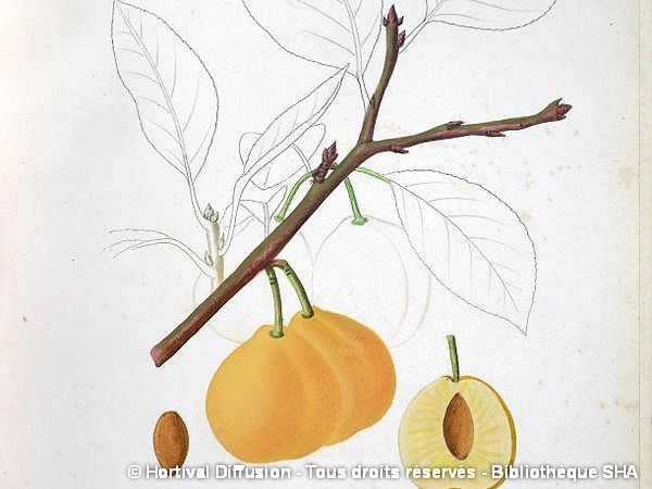 Prunier abricot