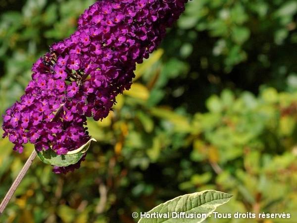 Arbre aux papillons Harlequin