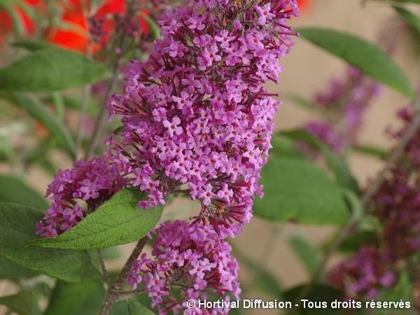 Arbre aux papillons Pink Delight