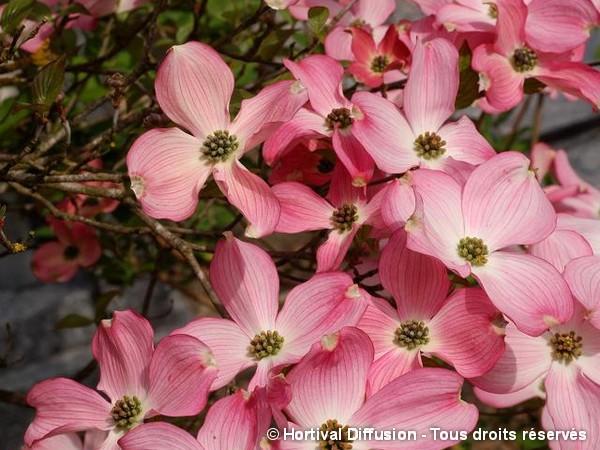 Cornouiller de Floride à fleurs roses
