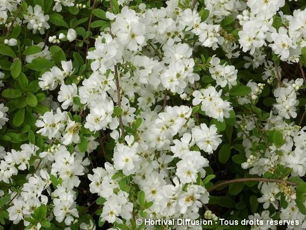 Arbuste aux perles The Bride