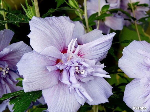 Hibiscus Blue Chiffon, Althéa
