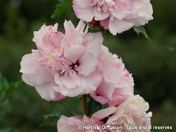 Hibiscus FRENCH CABARET® PASTEL, Althéa