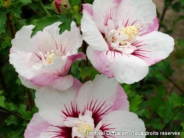 Hibiscus PINKY SPOT®, Althéa