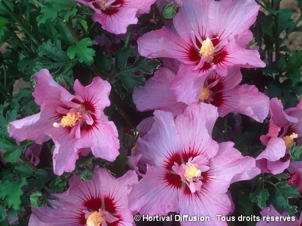 Hibiscus ROSALBANE®, Althéa