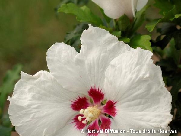 Hibiscus SUP'HEART®, Althéa
