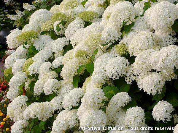 Hortensia arbustif Annabelle
