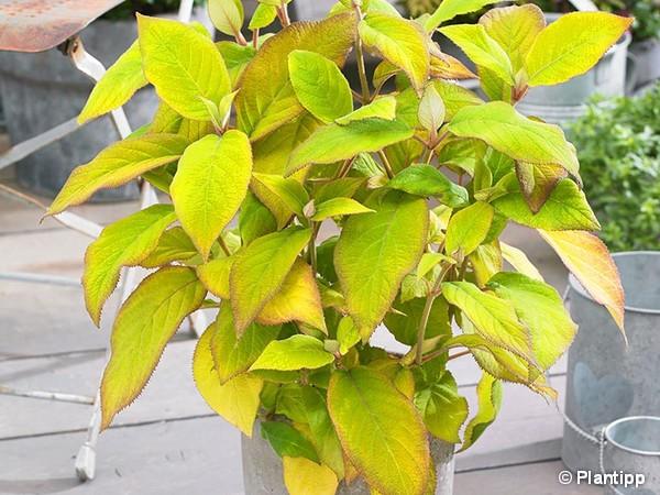 Hortensia arbustif GOLDRUSH®