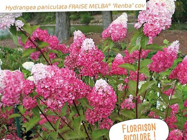Hortensia paniculé FRAISE MELBA®