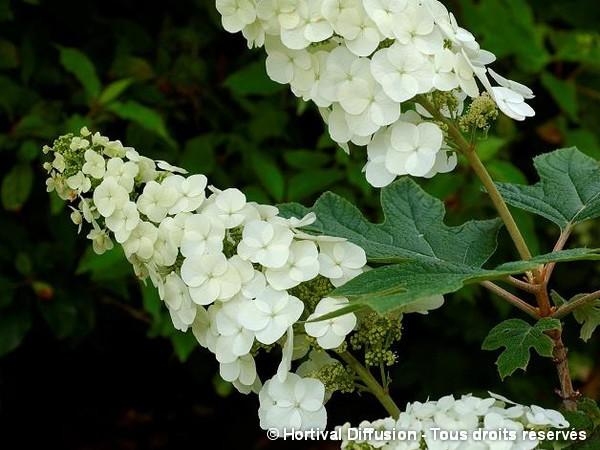 Hortensia à feuilles de chêne Applause