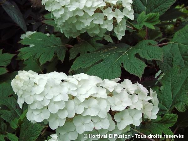 Hortensia à feuilles de chêne Snow Queen
