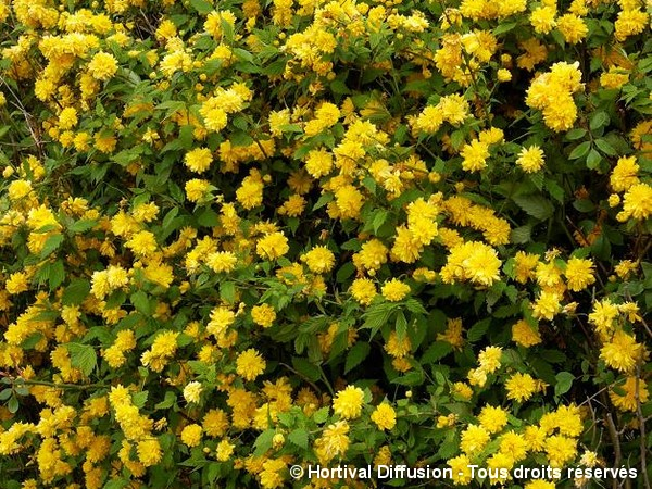 Corète du Japon Pleniflora