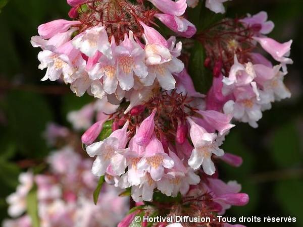 Buisson de beauté Pink Cloud