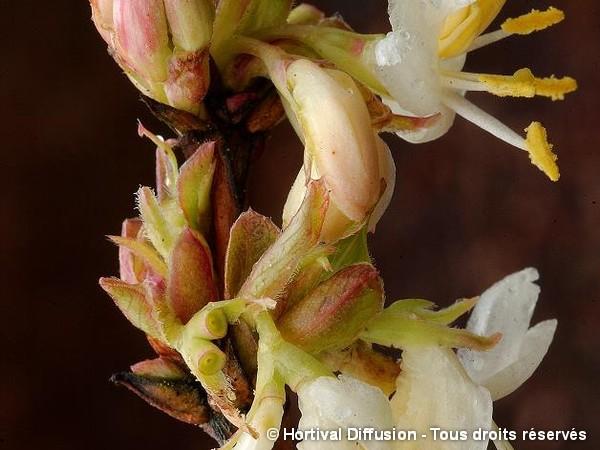 Chèvrefeuille arbustif d'hiver parfumé
