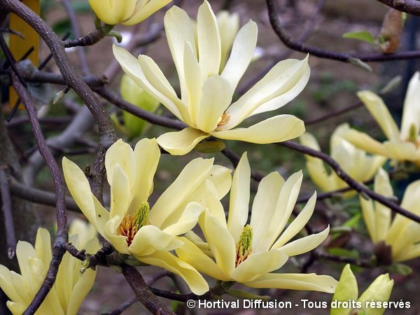 Magnolia Butterflies, Magnolier