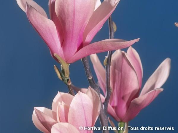 Magnolia Heaven Scent, Magnolier