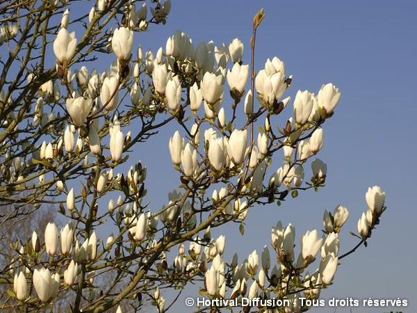 Magnolia Manchu Fan, Magnolier