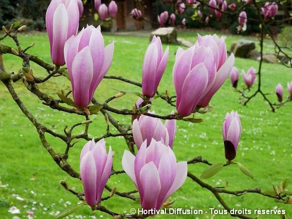 Magnolia de Soulange André Leroy, Magnolier