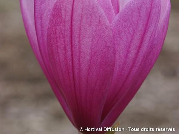 Magnolia Spectrum, Magnolier