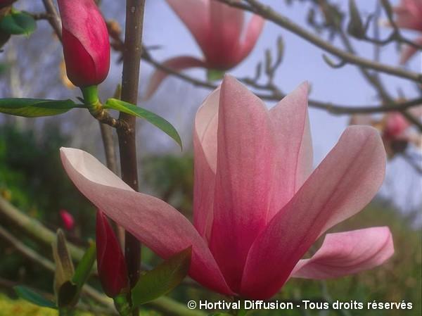 Magnolia Star Wars, Magnolier
