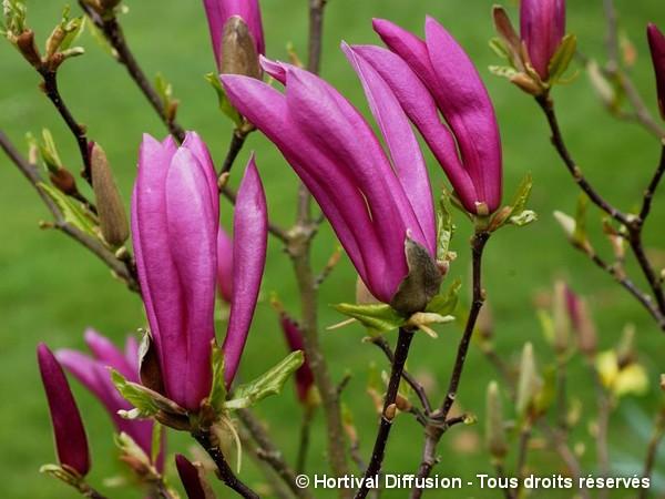 Magnolia Susan, Magnolier