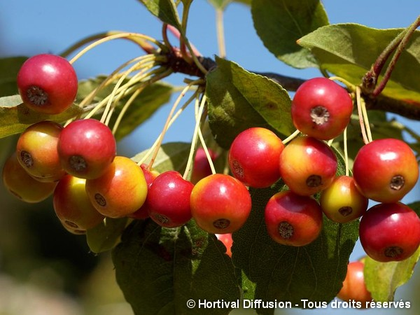 Pommier à fleurs Red Jewel