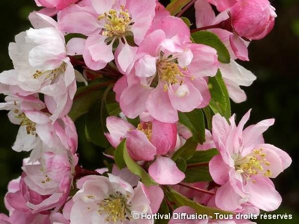 Pommier à fleurs Van Eseltine