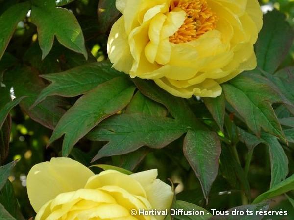 Pivoine arbustive à fleur jaune