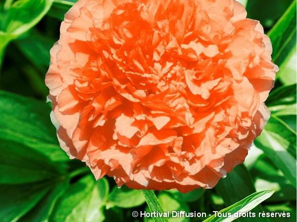 Pivoine arbustive à fleur orange