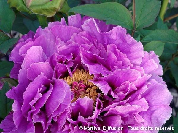 Pivoine arbustive à fleur pourpre