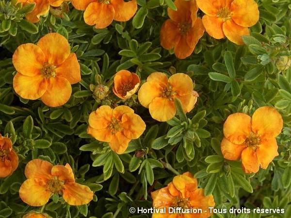 Potentille arbustive Tangerine