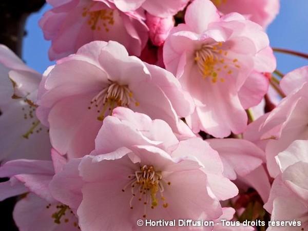 Cerisier à fleurs du Japon Accolade