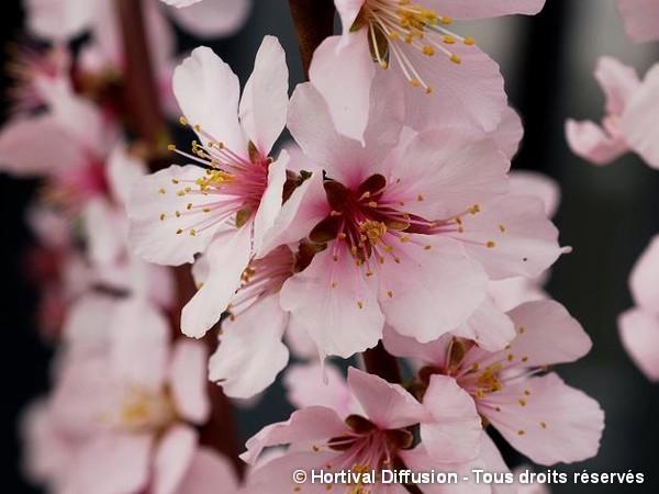 Amandier à fleurs Angélique