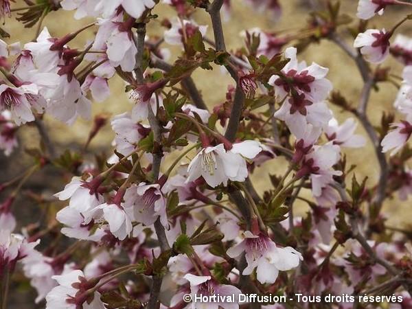 Cerisier à fleurs du Japon Kojo No Mai