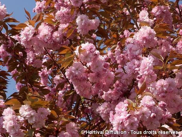 Cerisier des collines du Japon Kanzan