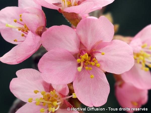 Cerisier à fleurs des îles Kouriles Ruby